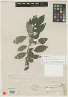 Isotype of Pilea leptogramma Urb. [family URTICACEAE]