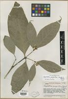 Isotype of Psychotria paupertina Standl. & Steyerm. [family RUBIACEAE]