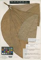 Holotype of Anthurium neblina G. S. Bunting [family ARACEAE]