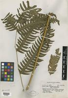 Isotype of Pteris nuda Copel. [family PTERIDOPHYTE]
