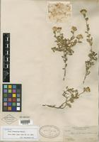 Isotype of Aster frutescens S. Watson [family ASTERACEAE]