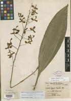 Holotype of Gongora truncata var. alba Nash [family ORCHIDACEAE]