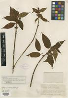 Isotype of Clidemia rubella Pittier [family MELASTOMATACEAE]