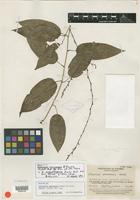 Isotype of Dioscorea narinensis R. Knuth [family DIOSCOREACEAE]