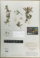 Filed as Barleria [family ACANTHACEAE]