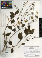Holotype of Lisianthus chimantensis Steyerm. & Maguire [family GENTIANACEAE]
