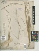 Type of Agrostis torreyana Schult. [family POACEAE]