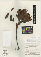 Isotype of Bonnetia ptariensis Steyerm. [family THEACEAE]