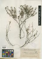 Type of Parsonsia satureoides Rusby [family LYTHRACEAE]