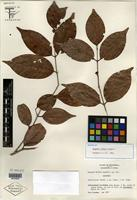 Isotype of Eugenia trikii Lundell [family MYRTACEAE]
