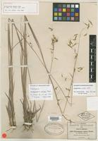 Holotype of Sorghastrum nudipes Nash [family POACEAE]