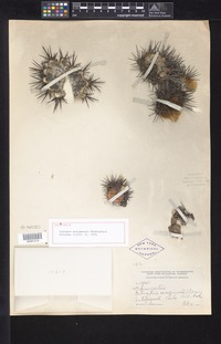 Holotype of Copiapoa atacamensis Middleditch [family CACTACEAE]