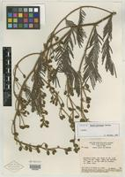 Isotype of Mimosa prorepens Barneby [family MIMOSACEAE]