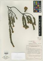 Isotype of Acacia pusilla Maslin [family MIMOSACEAE]