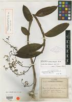 Holotype of Epidendrum grand-ansense Nir [family ORCHIDACEAE]