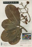 Type of Clusia annularis Maguire [family CLUSIACEAE]