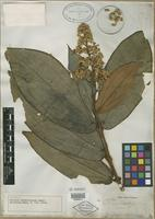 Isotype of Miconia boissieriana Cogn. [family MELASTOMATACEAE]