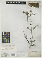 Isotype of Scolosanthus crucifer C. Wright [family RUBIACEAE]