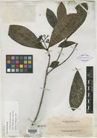Isolectotype of Psychotria palawanensis Elmer [family RUBIACEAE]