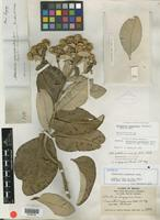 Isotype of Albertinia goyazensis Gardner [family ASTERACEAE]
