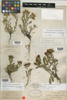 Syntype of Aster pattersonii A. Gray [family ASTERACEAE]