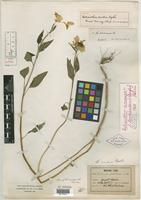 Holotype of Helianthus aridus Rydb. [family ASTERACEAE]