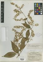 Isotype of Mikania houstoniana var. santandrensis B. L. Rob. [family ASTERACEAE]