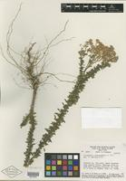 Isotype of Trichogonia tombadorensis R. M. King & H. Rob. [family ASTERACEAE]