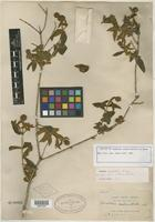 Isotype of Buddleja andina Britton ex Rusby [family BUDDLEJACEAE]