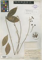 Isotype of Hoya benguetensis Schltr. [family ASCLEPIADACEAE]