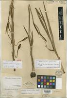 Isolectotype of Acidanthera iroensis A. Chev. [family IRIDACEAE]
