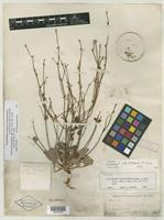 Isolectotype of Eriogonum dasyanthemum Torr. & A. Gray [family POLYGONACEAE]