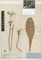 Isotype of Primula japonica A. Gray [family PRIMULACEAE]