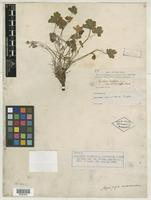 Isotype of Aquilegia vulgaris var. brevistyla A. Gray [family RANUNCULACEAE]