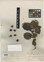 Isotype of Ternstroemia kwangtungensis Merr. [family THEACEAE]