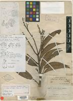 Holotype of Nectandra brittonii Mez [family LAURACEAE]
