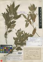 Isotype of Phoebe mollicella Blake [family LAURACEAE]