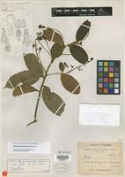 Isotype of Phoebe tomentosa Meisn. [family LAURACEAE]