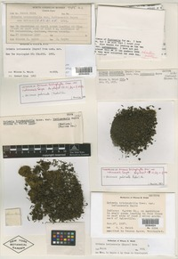 Isolectotype of Grimmia trichophylla var. indianensis Sayre [family GRIMMIACEAE]