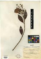 Isotype of Eugenia hainanensis Merr. [family MYRTACEAE]