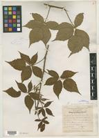 Type of Rubus arundelanus Blanch. [family ROSACEAE]