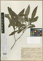Isotype of Justicia kleinii Wassh. & L. B. Sm. [family ACANTHACEAE]