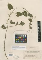 Isotype of Cissus sicyoides f. apensis Chodat & Hassl. [family VITACEAE]