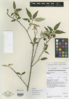 Isotype of Solanum silvestre A. R. Bean [family SOLANACEAE]