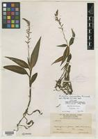 Isotype of Microchilus rioesmeraldae Ormerod [family ORCHIDACEAE]