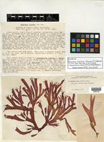 Isotype of Anatheca furcata Setch. & N. L. Gardner [family SOLIERIACEAE]