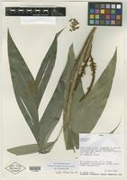 Type of Geonoma stricta subsp. submontana A. J. Hend. [family ARECACEAE]