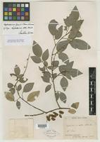 Syntype of Nephrodesmus albus Schindl. [family FABACEAE]