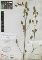 Isotype of Hyptis gonocephala C. Wright ex Griseb. [family LAMIACEAE]