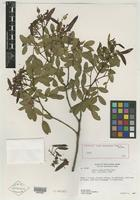 Holotype of Cassia myrophenges H. S. Irwin & Barneby [family CAESALPINIACEAE]